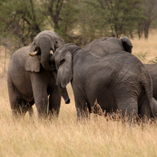 Elephants on a Tanzania Safari
