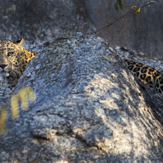 Leopard at Jawai Leopard Camp, luxury camp in India