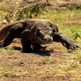Picture of a komodo dragon