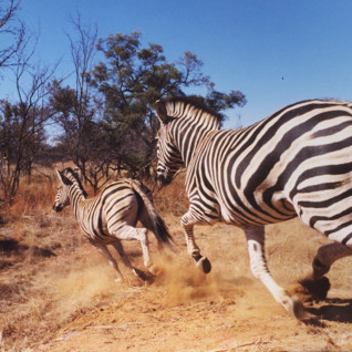 Zebra galloping through the bush