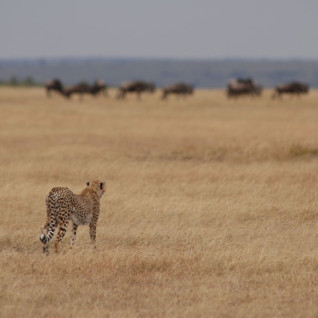 A Cheetah & Wildebeest in the Serengeti