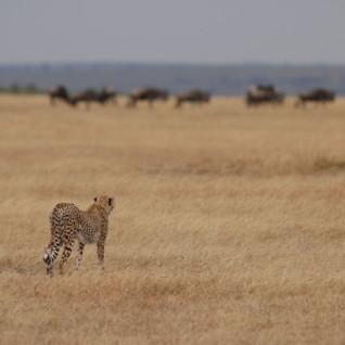A Cheetah & Wildebeest in the Serengeti