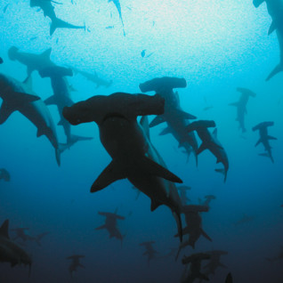 Picture of Hammerhead school Galapagos