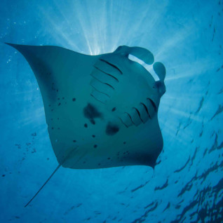 Picture of a manta ray in Costa Rica