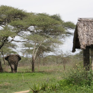 Elephant at Ndutu Safari Lodge, luxury lodge in Tanzania