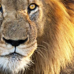 Lion in Kruger