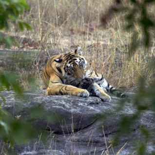 A tiger lying in the bush