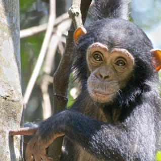 A baby Chimp in Western Tanzania
