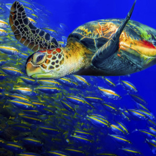 Green Turtle - Borneo