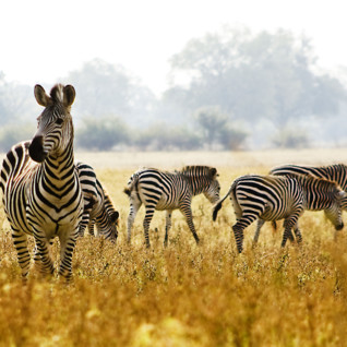 Zebras in South Luangwa National Park