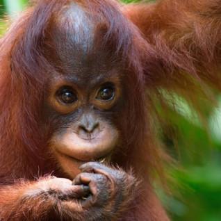 Infant Orangutan