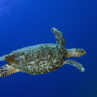 St Lucia sea turtle