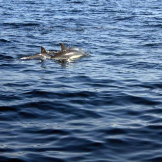 Dolphin Spotting, Muscat