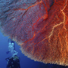 Diving with Fan Coral