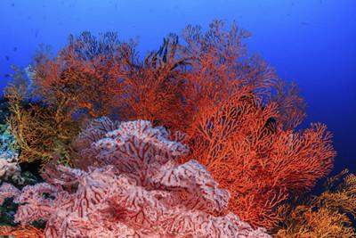 Orange fan coral