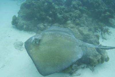 A Manta Ray on the Sea Floor
