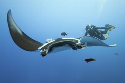 Giant Manta Ray and Diver