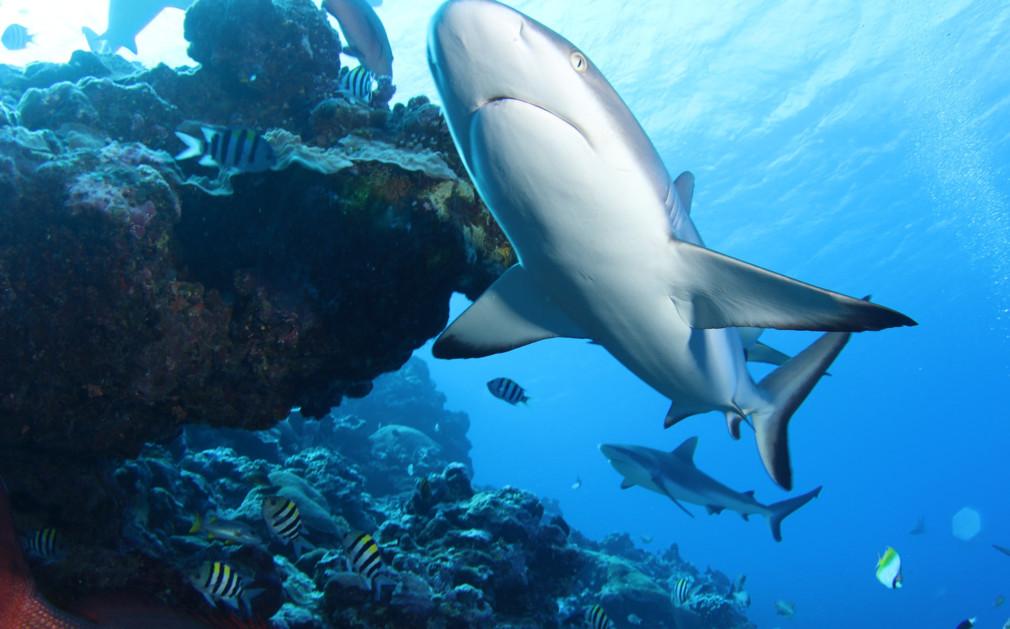 Australian blacktip shark