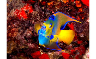 Picture of Angelfish in the British Virgin Islands