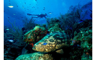 Picture of Goliath Grouper and Diver British Virgin Islands