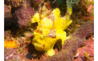 Picture of Frogfish at British Virgin Islands