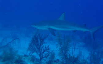 Picture of cruising shark Turks and Caicos