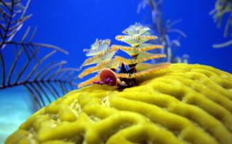 Picture of Christmas tree worms Turks and Caicos