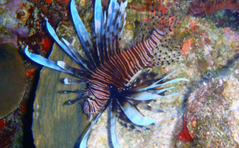 Picture of Lion Fish Turks and Caicos
