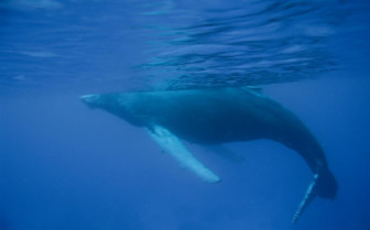Picture of sleeping whale in Turks and Caicos