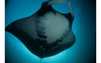 Picture of Manta Ray in Indonesia