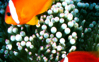 Picture of clown fish in Fiji