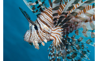 Picture of Lionfish in Fiji
