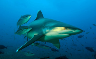 Picture of shark diving in Fiji
