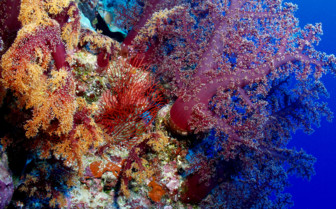 Picture of stunning soft coral in Fiji