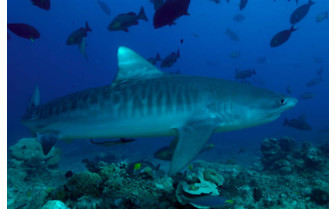 Picture of Tiger Shark in Fiji