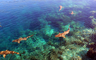 Picture of sharks in French Polynesia