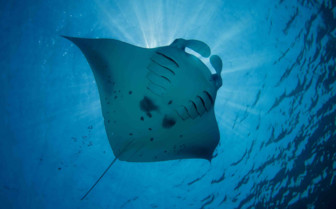 Manta ray in French Polynesia