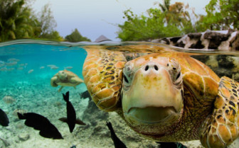 Picture of a green sea turtle in French Polynesia