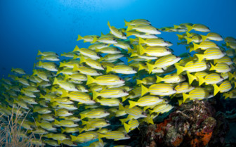 Picture of beautiful school of fish in the Maldives
