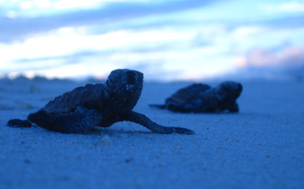 Picture of young turtles Seychelles