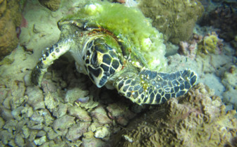 Picture of Turtle in Djibouti