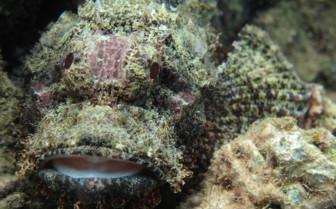 Picture of Stone Fish Djibouti