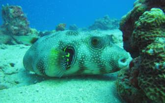 Picture of Boxfish Djibouti