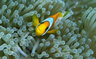 Picture of Clown Fish in Anemones Djibouti