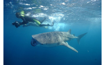 Picture of Whale Shark in Djibouti