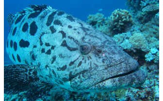 Picture of Giant Grouper on Great Barrier Reef