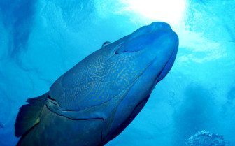 Picture of Maori Wrasse from below on Great Barrier Reef