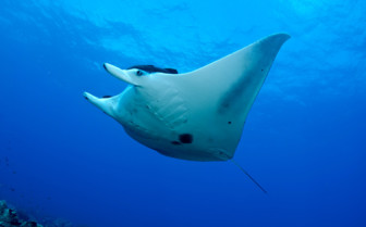 Picture of a manta ray in Tavenui
