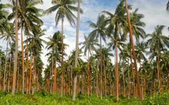 Picture of tropical palm trees in Taveuni