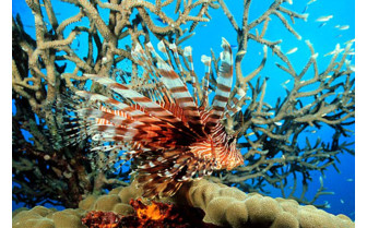 Picture of a lionfish in Taveuni